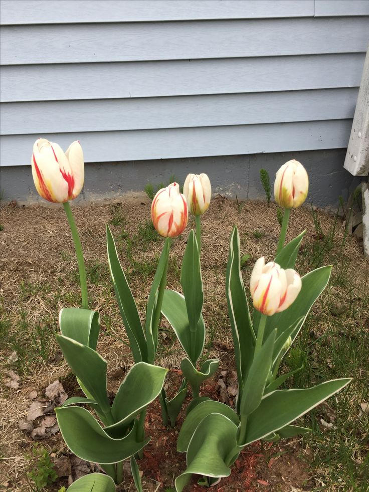 A bunch of Canada 150 tulips from my yard.