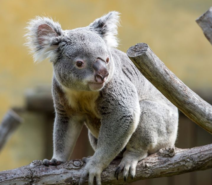 17 Best images about Koala on Pinterest | Help me ...