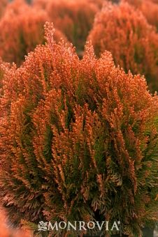 Morgan's Chinese Arborvitae, evergreen, Tolerates extremely dry to boggy wet conditions, provided drainage is adequate. Quite drought tolerant once established.   Average landscape size:  Grows 2 to 4 in. per year, reaching 3 ft. tall at 10 years.