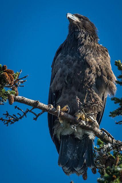 Immature Bald Eagle in Homer, Alaska |