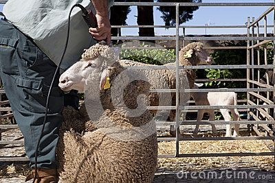 Mature farmer shearing sheep for wool outdoors with clipper
