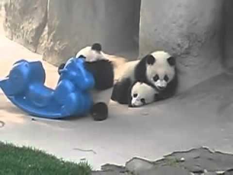 Pui de Panda jucaus