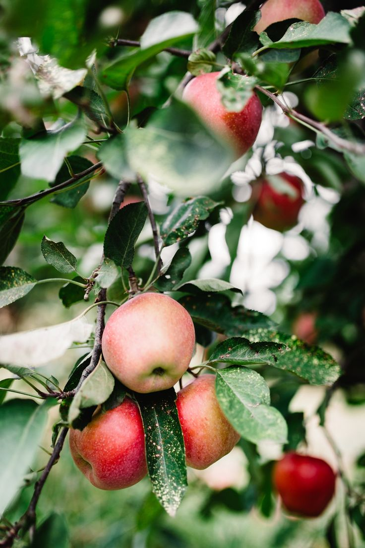 Autumn in the Orchard The Harvest Society — Apple