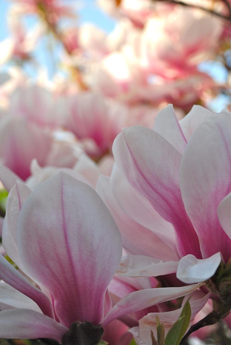 Declaración De Embrague - Flores De La Magnolia Por Vida Vida yHHvfK