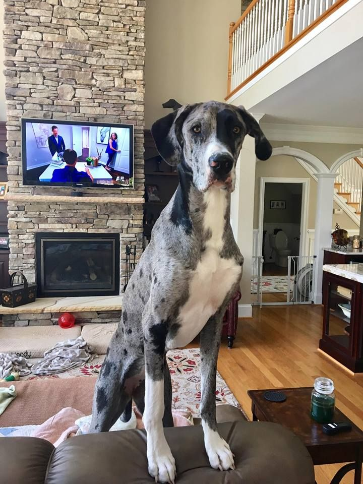 Stella The Merle Great Dane Taking A Stand On The Couch 2018