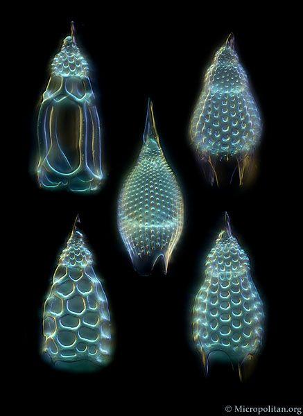 Radiolarians from the genus Podocyrtis (Lampterium)