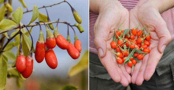 Gojibär är inte så exotiskt som du tror. Den heter bocktörne och kan odlas här i Sverige. Så här gör du för att lyckas med din växt.