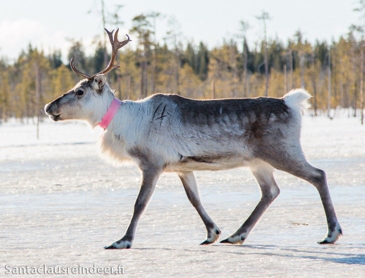 A young Santa Claus Reindeer on a stroll in Lapland