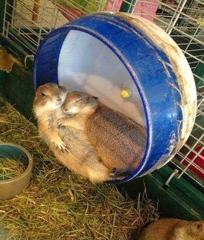 Calins hamster
