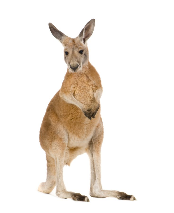 Kangaroo Facts  #Science #facts #reading