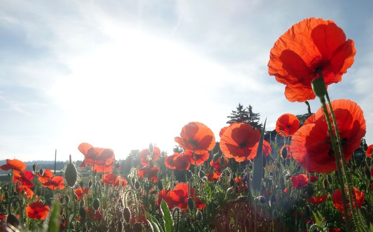 Poppies say SUMMER