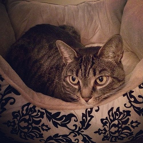 https://flic.kr/p/kJUmbY | Tiger in her bed looking very pensive after a cat fight in which she was chased by her sister Katrina. Poor baby! Sometimes it's not easy having fur-kids! I love both of them dearly! #cats #pets #instagram #iphoneography