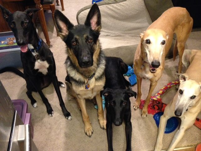 Brewster with his new family. The humans decided to make the dogs the feature of this picture. Louie, Major, Brewster (doesn't he look like a little angel?), Renee and DC. Congratulations to this new #fureverfamily, humans & dogs! #adoptaretiredracer #gpi #greyhound #greyhoundpetsinc #greyhoundsmakegreatpets