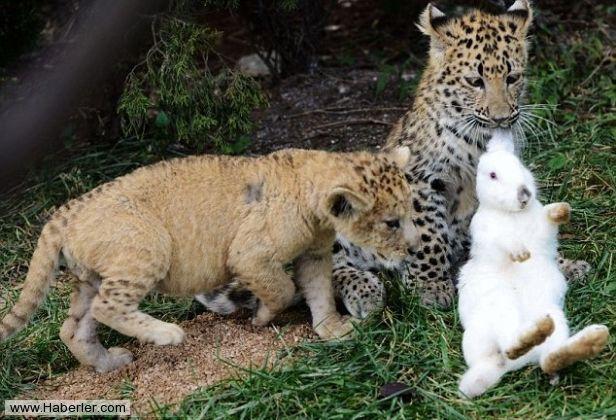 Çin'de bulunan Qingdao Forestry hayvanat bahçesinde kaplan yavruları tavşanlarla büyüyor.