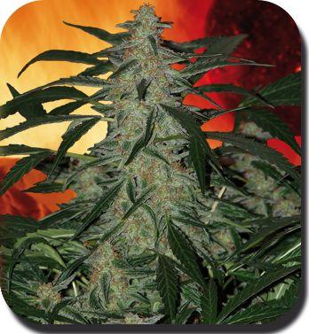 Deimos - Feminised Cannabis Seeds