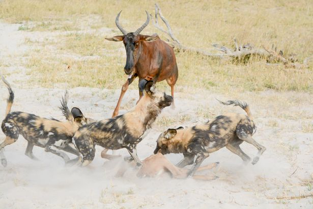 Bush Beats the Boardroom...Every Time. Mother tsessebe attempts to chase wild dogs off her calf - to no avail...