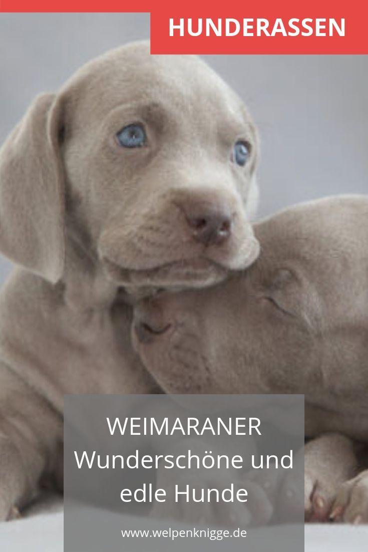Chiots Weimaraner Chiots Weimaraner Chiot Races De Chiens