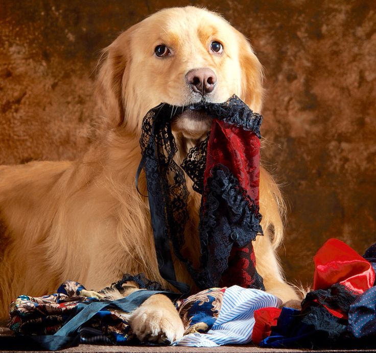 Dog Ate Corner Of Rug: 1000+ Images About DOG PANTIES & BELLY BANDS On Pinterest