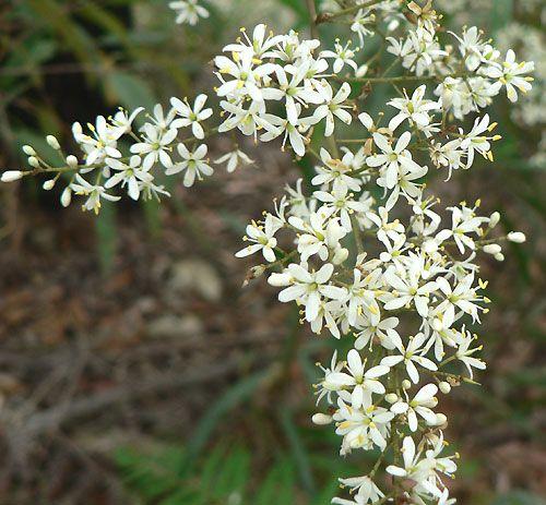Bursaria Spinosa - Landscaping for small birds   Daniel Dendy