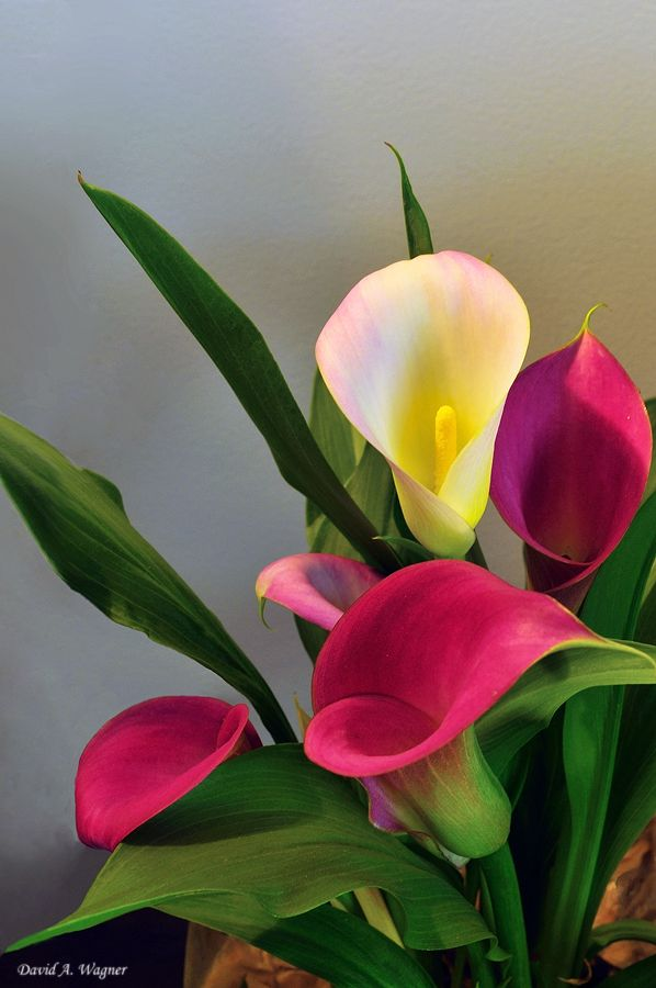 ~~Calla Lilies by David-A-Wagner~~