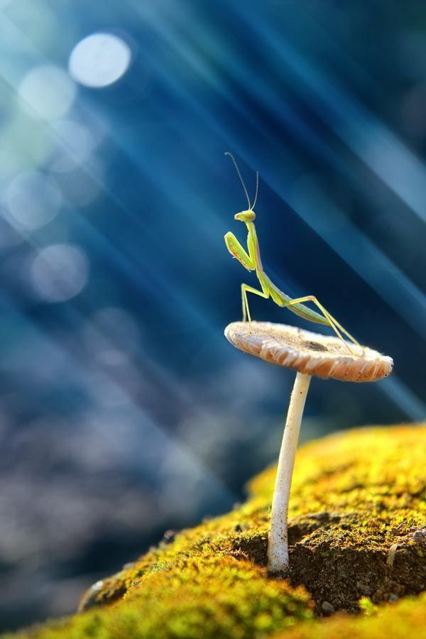 Exquisite photo of a praying mantis.