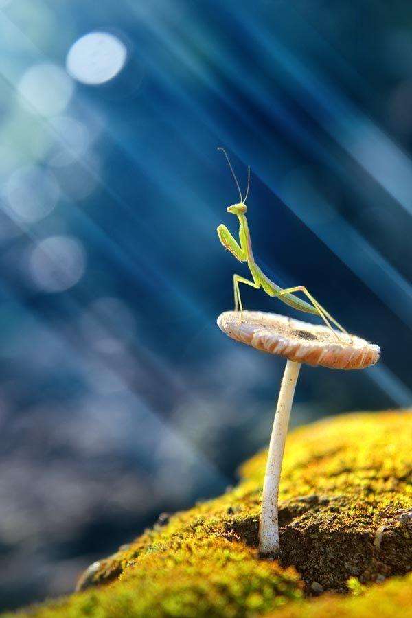 Exquisite photo of a praying mantis.