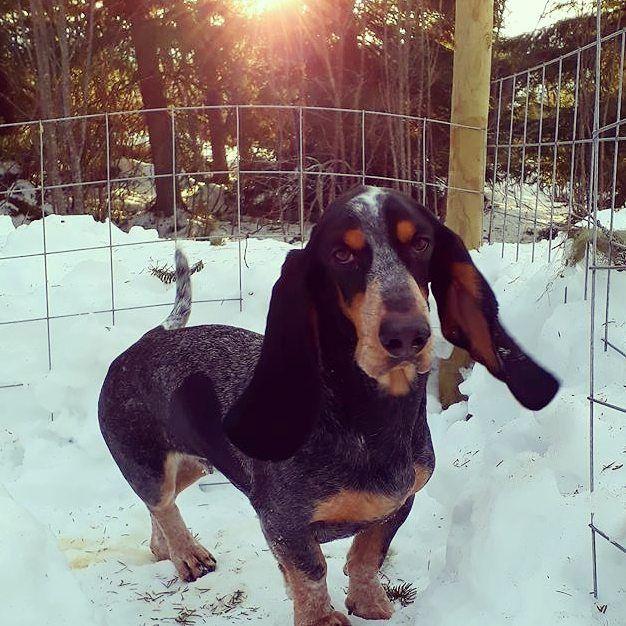 Des nouvelles de Norvège 🇳🇴 MARCHELINE d'An Naoned 💜🐕❄ Femelle Basset bleu de Gascogne née le 01/12/16 (Houston d'An Naoned x Hamio d'An Naoned) 📷 Mme Bjerkenås  #basset #bbg #bassetbleudegascogne #snow #norway #travel #dog #neige #doginsnow #sun #norvege #chien #dogportrait #hund #cani #pet #doglove #snowpics #cute #marcheline
