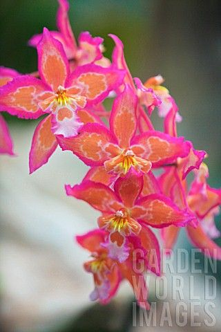 Orchid (x odontioda cassandra) ... luv the gorgeous bright colors of these orchids ...
