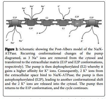 The Plasmalemmal Na/K-ATPase: An Amplifier for Reactive Oxygen Species?