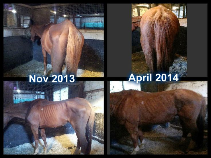 Norman has inflammatory bowel disease. With every flare up he gets chronic colic and choke. The only treatment the vets have been able to offer is very high dosages of steroid tablets but his owner put him on Aloe drinking gel, 120ml in his feed daily...you can see the results!! He has also stopped wind-sucking - something he has done religiously for over 15 years!  More information from www.karen-steve.myflpbiz.com