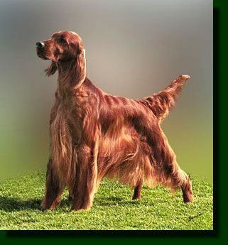 Irish Setter, I miss Lady, she was an awesome dog too, I would throw balls or whatever for her cause her red coat just amazed me how she looked like she was on fire.
