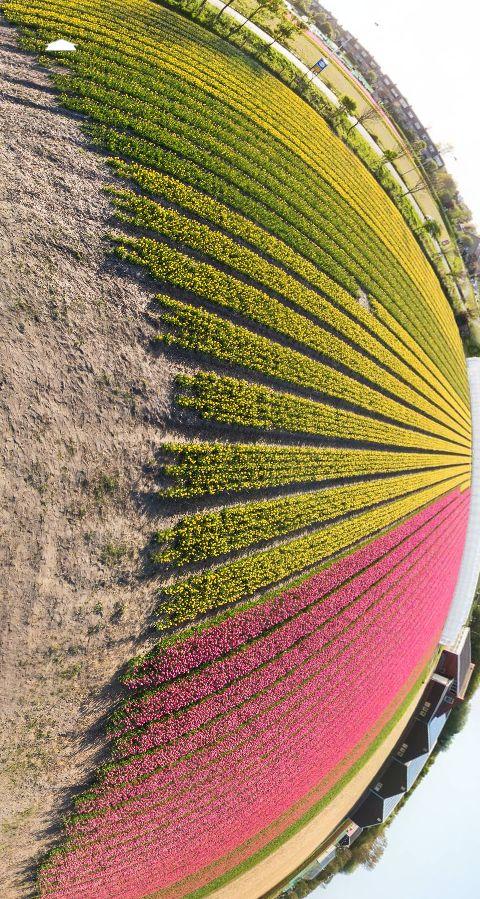 Colourful field of tulips (Noordwijk, Netherlands) by Zoran Trost. https://www.360cities.net/image/colourful-field-of-tulips-in-noordwijk-netherlands