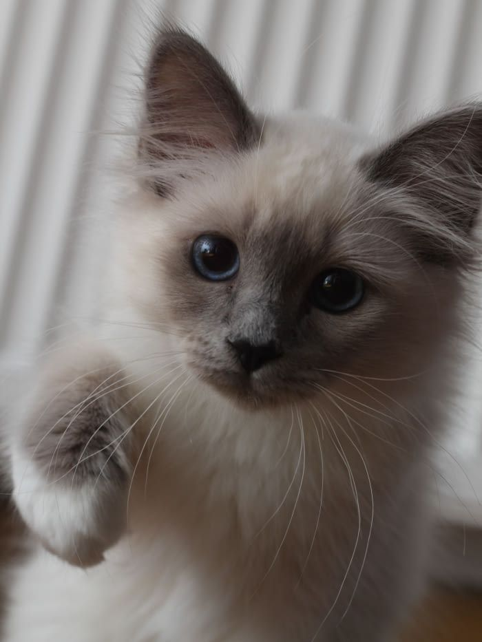 My Birman Kitten - 9GAG