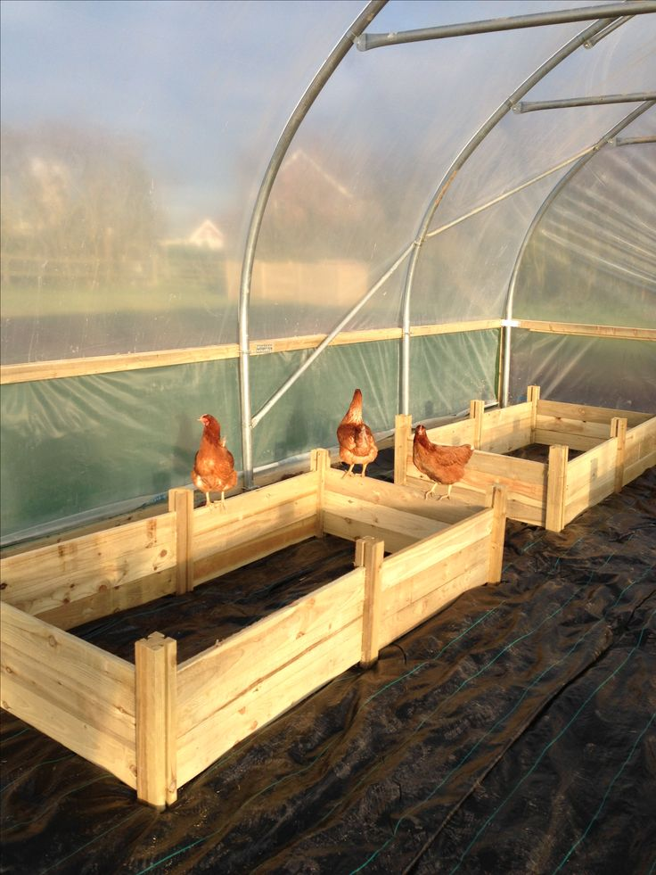 A shot from first putting up the polytunnel - very curious #chickens  #keepingchickens #happyhens