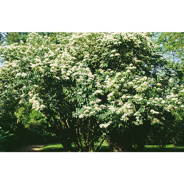 Der Bienenbaum wurde in Europa erst in den 1950er Jahren bekannt. Sein besonderer Wert liegt – in Zeiten des... - Bienenbaum (Euodia hupehensis)
