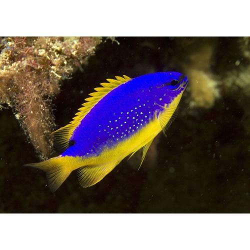 Fiji damsel chrysiptera taupou damsel fishes for Blue saltwater fish
