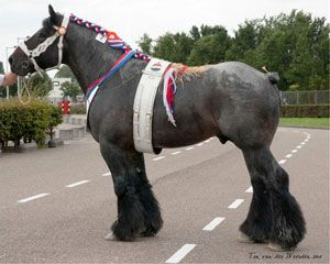 The Belgian Draft Horse is descended from the war horse of the Middle Ages. Its location of origin is Brabant, in what is now Belgium. Belgians, as the breed is known in America, differ slightly from its European ancestor the Brabant.