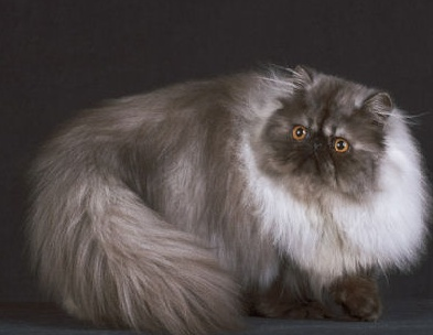 One Of The Most Popular Breeds In World Persian Oozes Luxury