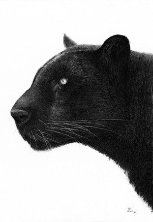Panther black and white illustration by Per Svanström - Nordic Design Collective