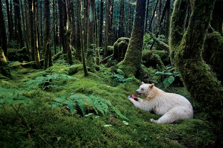BRITISH COLUMBIA, CANADA - In a moss-draped rain forest in British Columbia, towering red cedars live a thousand years, and black bears have white coats. They are known to the local people as spirit bears. (Photo by Paul Nicklen)