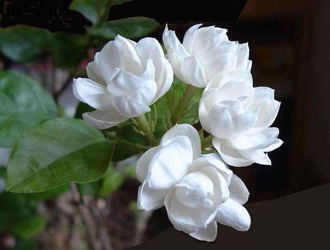 Jasmine Has Symbolic Meanings In The Chinese Culture The He In A Man S Name 1000 En 2020 Flores Exoticas Narcisos Gardenias