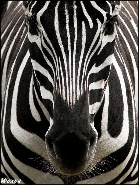 Zebra: perfect symmetry by woxys.deviantart.com on @deviantART