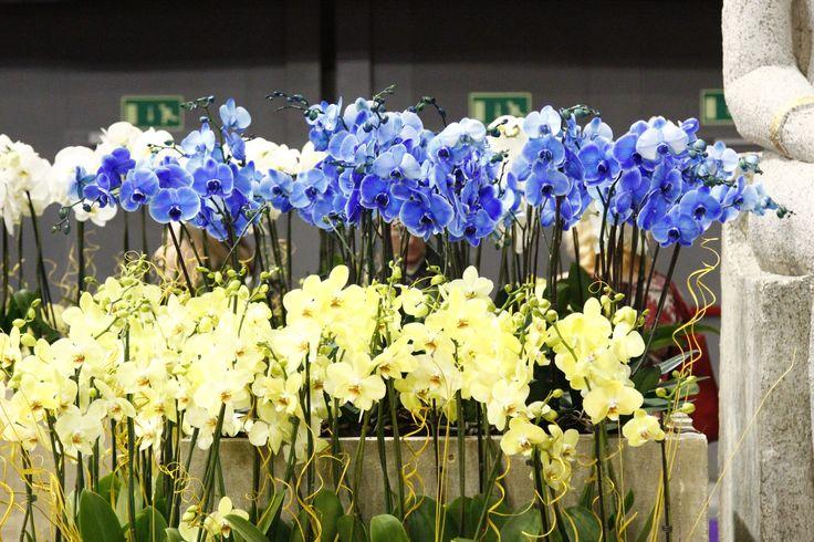 Phalaenopsis orchid blue