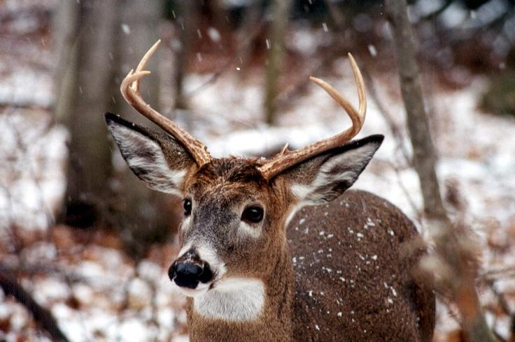 deer in snow-presqu'ile park by susan shipman