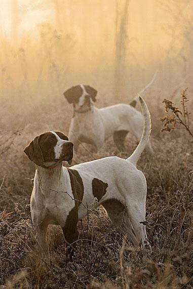 Bird Dogs. Half the fun in bird hunting is watching the dogs work! #Hunting #Dogs