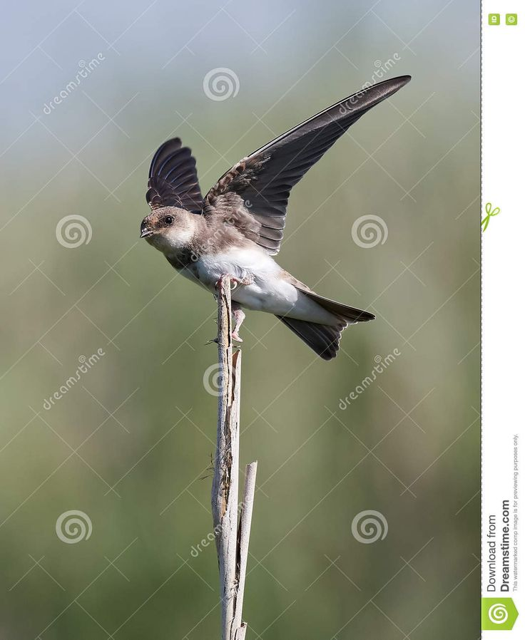 This photo was sold today @Dreamstime: European sand martin (Riparia riparia) https://www.dreamstime.com/stock-photo-european-sand-martin-riparia-riparia-landing-branch-vegetation-background-image75311017