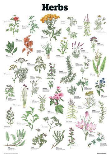 Herbs - Guardian Wallchart Prints - Easyart.com