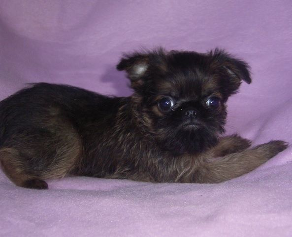 Pinterest: Discover and save creative ideas Brussels Griffon And Pug Mix