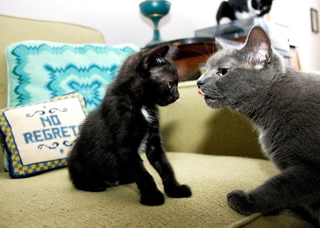 cute cat fostering and caring for kitten