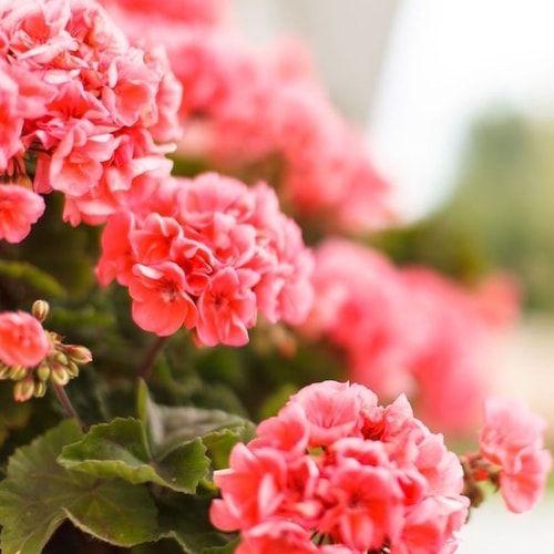 17 migliori idee su piante da balcone su pinterest for Soluzioni zanzare giardino